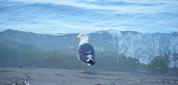gabbiano-reale-mediterraneo.jpg