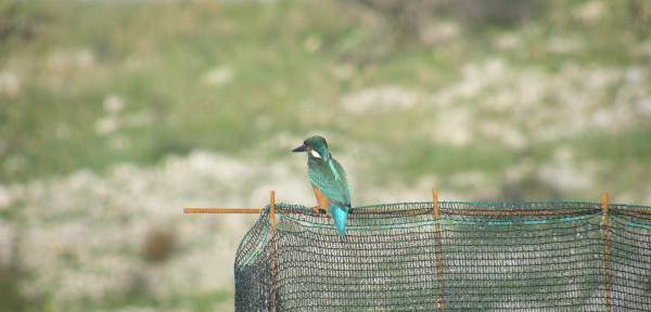 Martin-pescatore-(Alcedo-atthis).jpg
