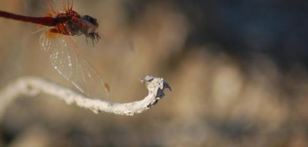 libellula-in-volo.jpg